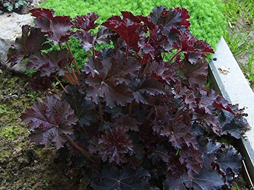 Coral Bells Plant Seeds,Heuchera Palace Purple ,Perennial, Zone: 4-9(25 Seeds)