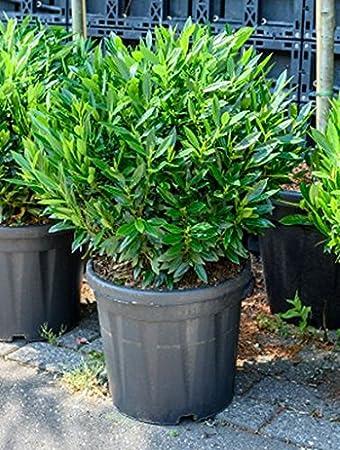 Kirschlorbeer Ca 70 Cm Balkonpflanze Immergrun Winterfest