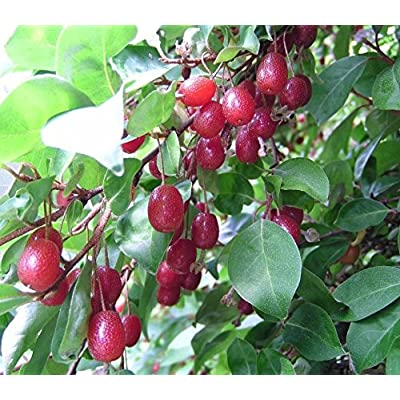 Elaeagnus multiflora GOUMI BERRY Seeds! : Garden & Outdoor