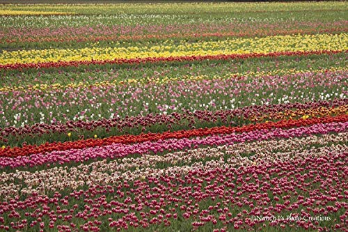 Spring Photography Tulip Field Photo Colorful Wall Art Red Pink Yellow Green Home Decor Floral Print Unframed Flower Picture Botanical Gift for Gardener 5x7 8x10 8x12 11x14 12x18 16x20 16x24 20x30