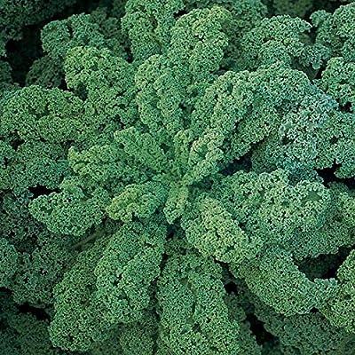 "Darkibor F1 Hybrid Kale Seeds - High yielding curly kale that stands 18-24"" tall(25 - Seeds) : Garden & Outdoor"