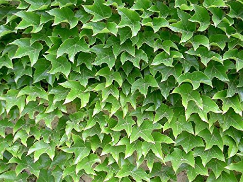 50 Seeds Parthenocissus Tricuspidata Seeds, Boston Ivy Seeds