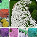 Seed House-KOUYE 50 Rock Cress Seeds Ground Cover Upholstered Thyme Fragrance Flower Seeds Sand-Thyme Easy-Care Bee-Friendly Flower Seeds Hardy Perennial Garden