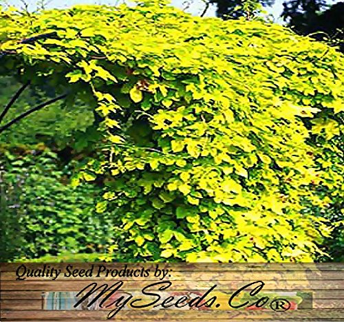 BIG PACK - HOPS - Humulus lupulus Seeds (500+) Brew Your OWN BEER TODAY - COMES BACK EVERY YEAR - Plants Develops Rhizomes - Zones 3-8 - Non-GMO Seeds By MySeeds.Co
