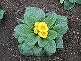 Primrose Plant: Primula