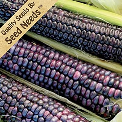 Package of 100 Seeds, Blue Hopi Ornamental Corn (Zea mays) Non-GMO Seeds By Seed Needs