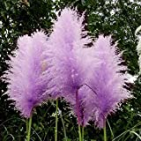 500pcs Rare Purple Pampas Grass Seeds Ornamental Plant Flowers Grass Seeds
