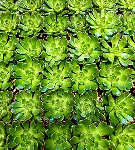 Fat Plants San Diego Mini Rosette Succulent Plants in Growers Pots by Fat Plants San Diego (Image #4)