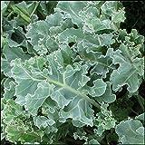 Sea Kale 10 seeds