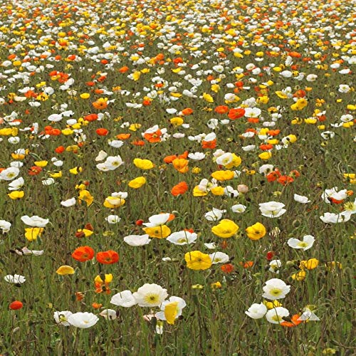 Outsidepride Poppy Iceland - 5000 Seeds