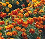 Marigold Seeds - French Sparky Mix - Heirloom Flower Garden Protection 1,000 Seeds by Hill Creek Seeds