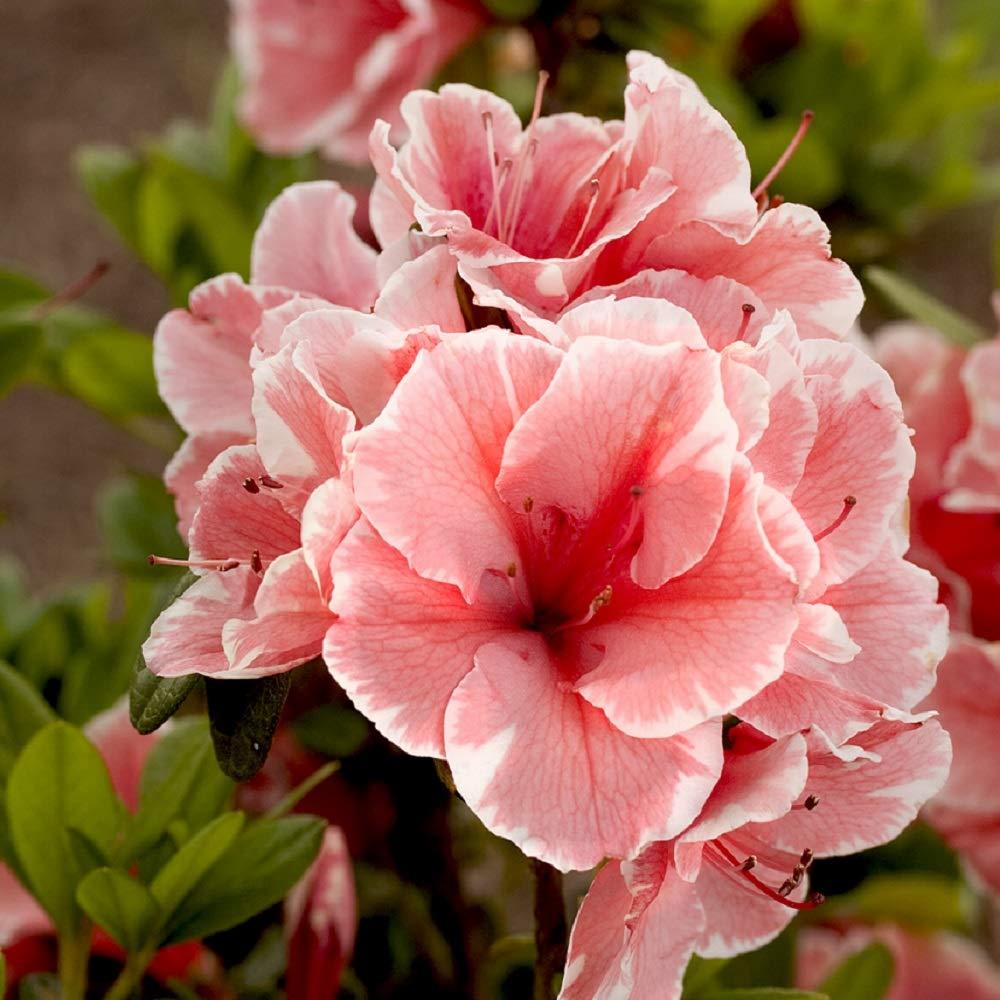 Encore Azalea | 1 Gallon Autumn Sunburst, Multicolor RE-Blooming Evergreen Shrub