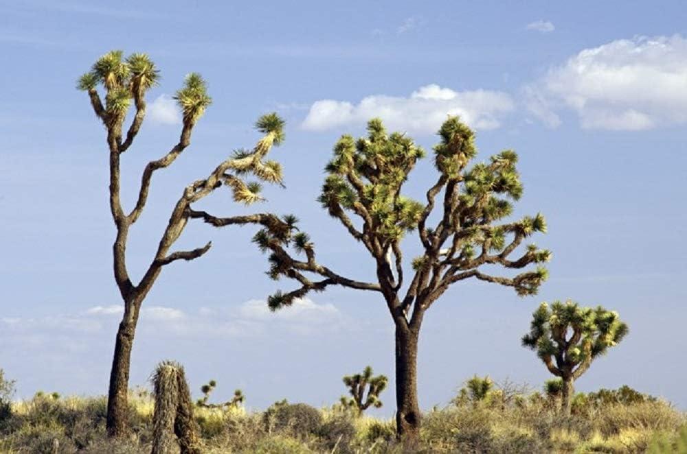 Joshua Tree 10 Seeds Yucca Brevifolia
