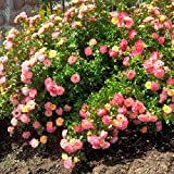 Peach Drift Groundcover Rose - Live Plant - Full Gallon Pot