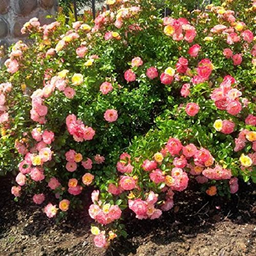 Peach Drift Groundcover Rose - Live Plant - Full Gallon Pot by Amazing Plants