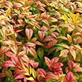 Cottage Hill 1 Piece Nandina 'Firepower' Evergreen Plant, 3 Quart Trade Gallon pot