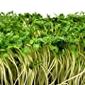 Garden Cress Seeds Azhur (Lepidium Sativum) Organically Grown Herb NON GMO