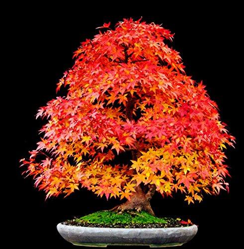 (RED Sunset Japanese Maple, Landscaping Tree Seeds Bonsai 10~100 Packs)