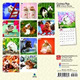 Guinea Pigs 2018 7 x 7 Inch Monthly Mini Wall Calendar, Domesitc Animals Small Pets (Multilingual Edition)