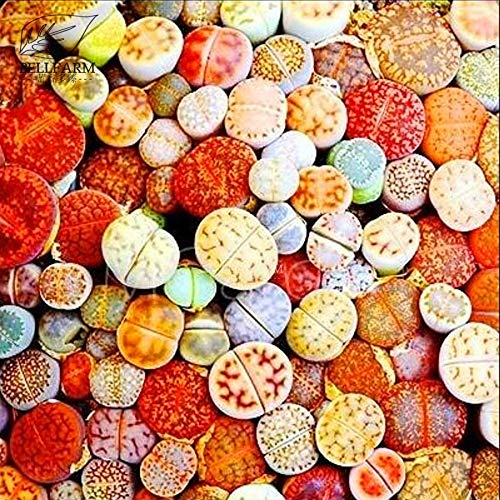 20pcs Pinkdose Bellfarm misti 20 Tipi di pietre vive Lithops Bonsa/Ã/¯Pianta succulenta Rosso Bianco Giallo bicolore alta germinazione pack