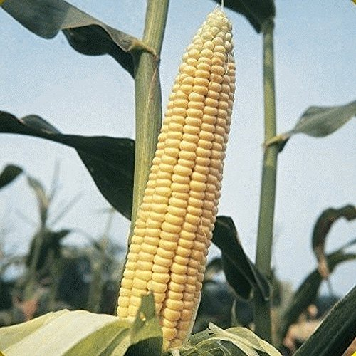 Everwilde Farms - 1 Lb Golden Bantam Open Pollinated Corn Seeds - Gold - Open Corn Pollinated