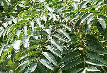 Amazoncom Choerospondias Axillaris Lapsi Nepali Hog Plum Tree