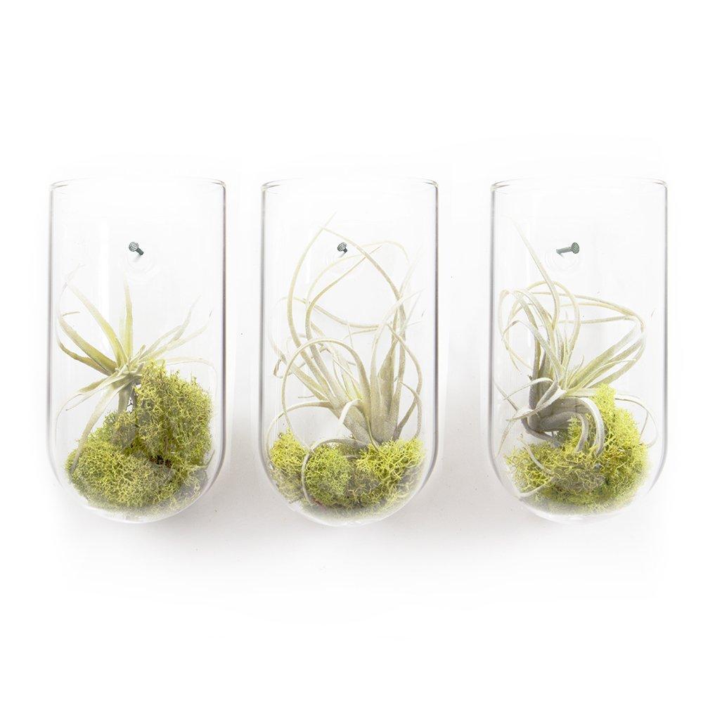 Chive - Set of 3 Hudson Modern and Versatile Glass Wall Mount Flower Vase, Air Plant, Tillandsia, Bromeliad, Succulent and Cactus Holder