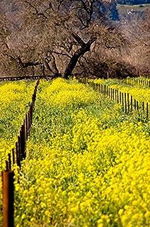 Amazon yellow mustard 12 500 seeds wonderful field flower yellow mustard 25000 seeds wonderful field flower vineyards nitrogen fixing cover crop mightylinksfo