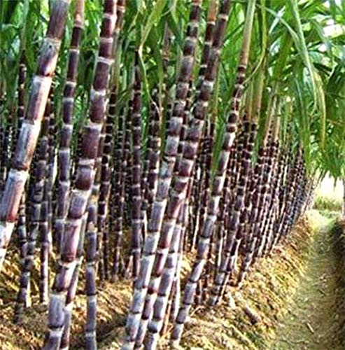 (Portal Cool Fd3516 Black Sugar-Cane Seeds Rum Syrup Sweet Rock Candy Sugar Crystals 50 Seed?)