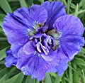Pretty Flowering Perenials, Double Siberian Iris, Concord Crush, Root, Plant, Great Spectacular Flower Heads