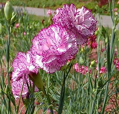 YoYoBoo DD *Dianthus caryophyllus* Rare 'Princess Tiana' Purple Carnation Seeds