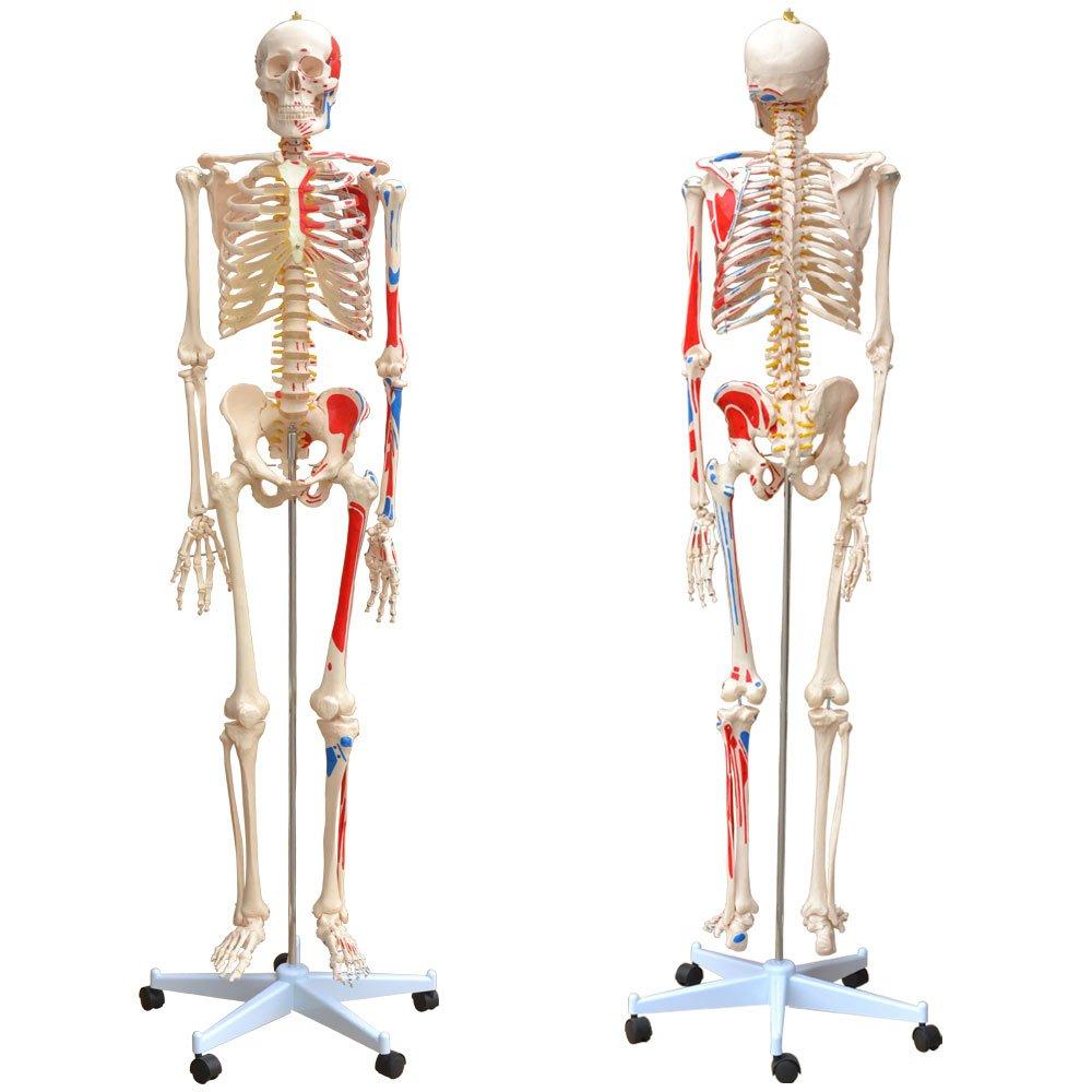 Charmant Menschliches Bein Anatomie Knochen Bilder - Physiologie Von ...