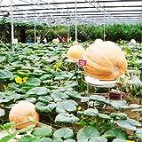 10 Pumpkin Dills Atlantic Giant Seeds,big,big,very big!!!