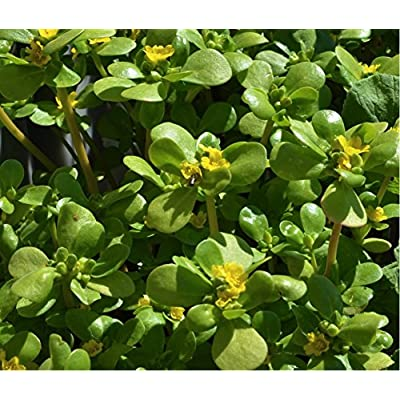 Herbal Green Purslane (Portulaca oleracea L.) Plant Heirloom Seeds, Valuable Medicinal Herb : Garden & Outdoor