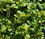 Herbal Green Purslane (Portulaca oleracea L.) Plant Heirloom Seeds, Valuable Medicinal Herb