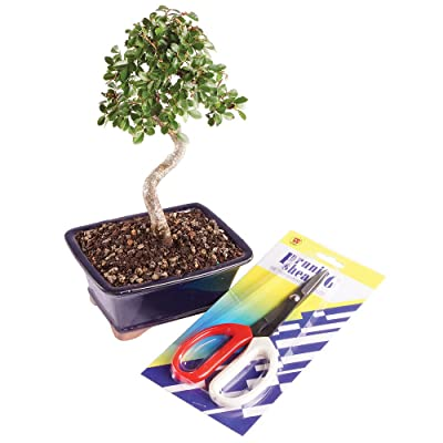 Brussel's Bonsai CTCES6265 Brussel's Chinese Elm Bonsai - Small (Outdoor) with Prunning Shears: Garden & Outdoor