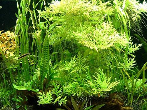 Hygrophila Difformis Water Wisteria Potted Live Aquatic Plant for Aquarium Freshwater fish tank by greenpro