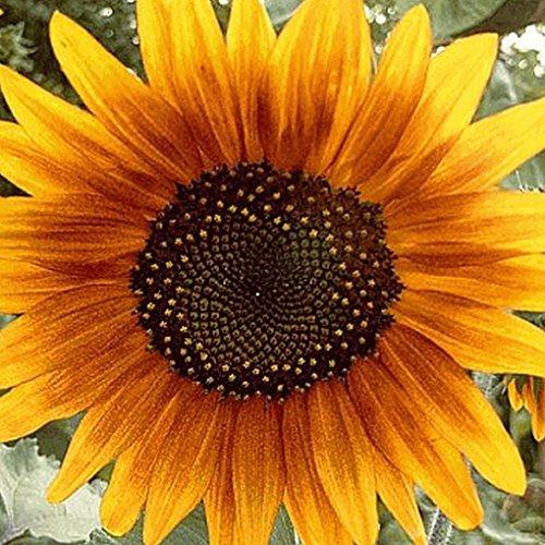 Everwilde Farms - 100 Autumn Beauty Sunflower Wildflower Seeds - Gold Vault Jumbo Seed (Farms Sunflower)