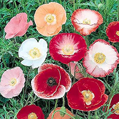 100, 000 Shirley Poppies Seeds: Pastel Poppy Seeds - Non GMO and Neonicotinoid Seed : Garden & Outdoor