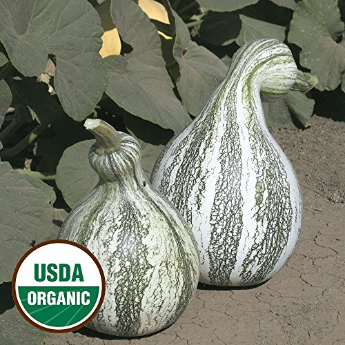 organic Cushaw Green Striped Pumpkin Seeds - Gold Vault Packet (Pumpkin Seed Packet)