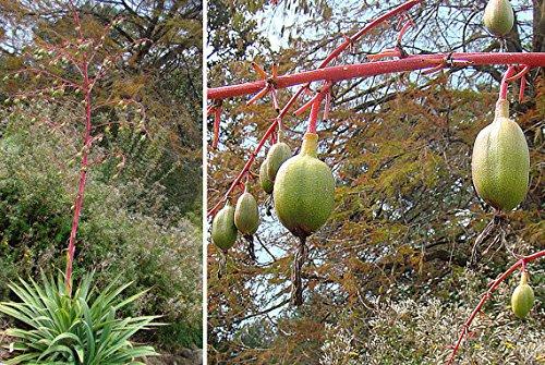 3 Seeds * Very Rare Beschorneria Albiflora Spectacular Mexican Agave