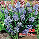Dutch Muscari Bulbs ( 1 Bulb ) Grape Hyacinth Hardy Bulb Muscari botryoides Mill Garden Bulb Flower Seeds