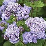 Maslin 20Pcs/Pack Ageratum Seeds Garden Courtyard Annual Blue Purple Beautify Flowers Plants Seeds