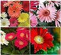 20+ California Giant Gerbera Daisy Flower Seeds Mix / Perennial