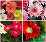 20+ California Giant Gerbera Daisy Flower Seeds Mix / Perennial