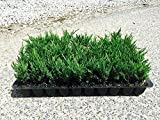 Andorra Compacta Juniper Qty 30 Live Plants Evergreen Ground Cover