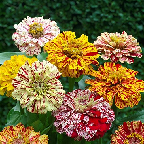 Zinnia Seeds - Candy Stripe Mixed - Packet, Blooms In Various Colors With Interesting Streaks and Spots, Flower Seeds