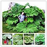 Go Garden Gunnera Manicata Plant Giant Rhubarb Plant Partial Shade Huge Leaves 50 Pcs/Bag