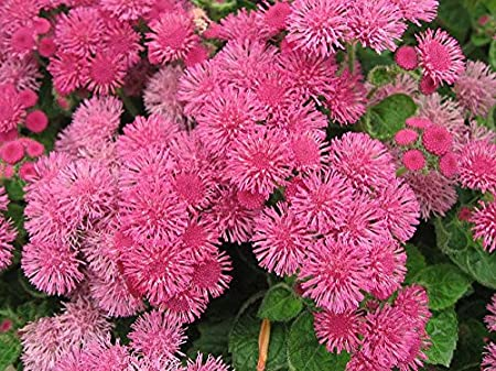 Amazon Com Floss Flower Seeds Ageratum Houstonianum Cloud Nine Pink Pel Early Variety 1000 Garden Outdoor