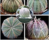 Seeds Market Rare Euphorbia obesa Basketball sea urchin, professional packaging, 2 Seeds, life Baseball Golf Ball succulent plant